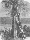 GABON: Ovouncha, a species of Fig-tree, from the Gabon,  antique print 1891